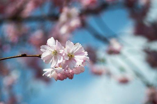 Cherry Blossom, Original Image, Ornamental Cherry