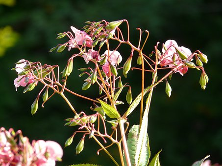 Himalayan Balsam, Plant, Flower, Blossom, Bloom, Pink