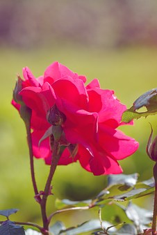 Rose, Rose In The Garden, Flower, Pink, Pink Flower