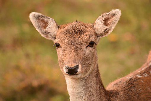 Roe Deer, Fallow Deer, Damtier, Spotted, Watch