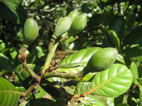 Small Immature Fruit, Tree, Green Foliage, Taraire