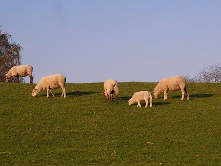 Sheep, Dike, Elbe, Meadow, Spring