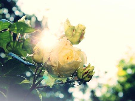 Rose, Wild Rose, White, Sun, Dazzle, Back Light