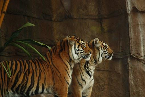 Tiger, Tigers, Wild, Cat, Animal, Wildlife, Mammal