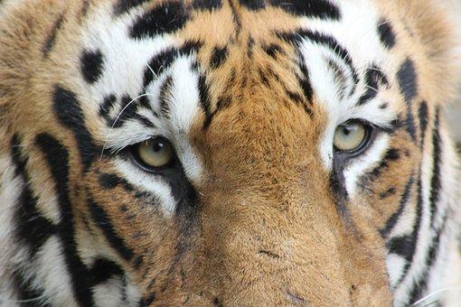 Tiger, Bengal, Royal Bengal, Wildlife, Animal, Cat