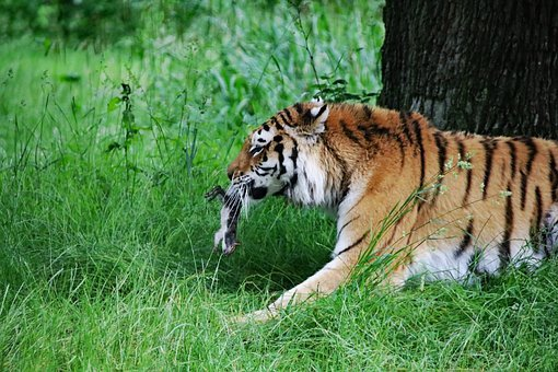 Tiger, Big Cat, Animal, Wildlife, Carnivore, Danger