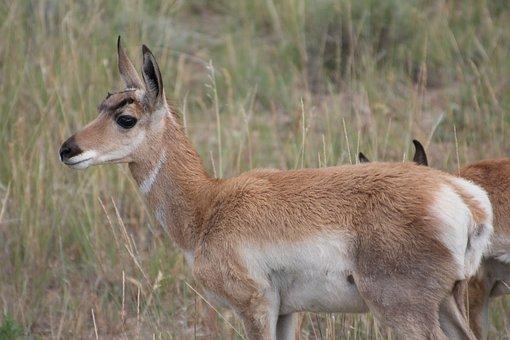 Pronghorn, Usa, Wild, Animal, Bryce Canyon, Antelope