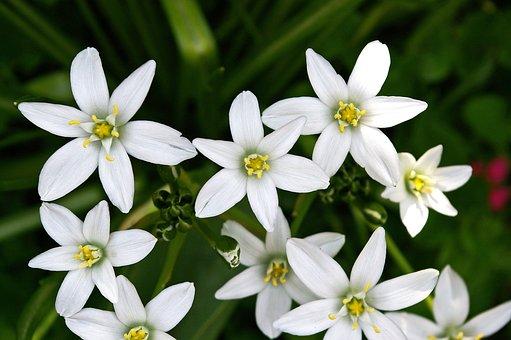 White Flower, Flower Bed, White Star, Nature, Garden