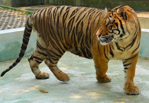 Tiger, Animal, Nature, Wild, Zoo, Wildlife, Cat, Feline