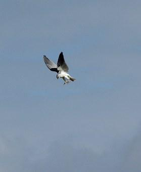 Wildlife, Bird, Black Shouldered Kite, Hunting