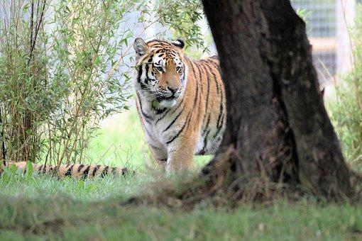 Tiger, Big Cat, Wildlife, Mammal, Carnivore, Danger