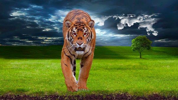 Tiger, Predator, Animal, Wildlife, Nature, Wild, Cat