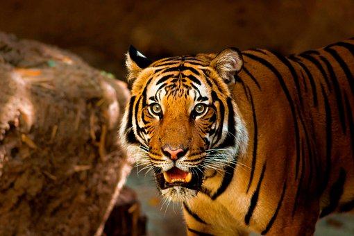 Tiger, Animal, Nature, Wild, Wildlife, Cat, Zoo, Mammal