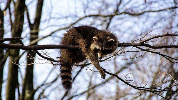 Raccoon, Animal, Nature, Furry, Cute, Animal World
