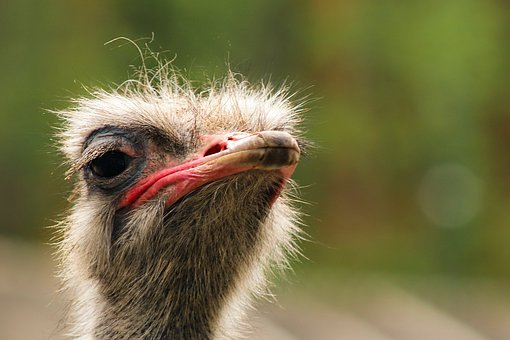 Ostrich, Portrait, Head, Nature, Animals, Beak, Birds