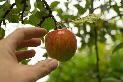 Pluck, Apple, Fruit, Tree, Healthy, Food, Fresh