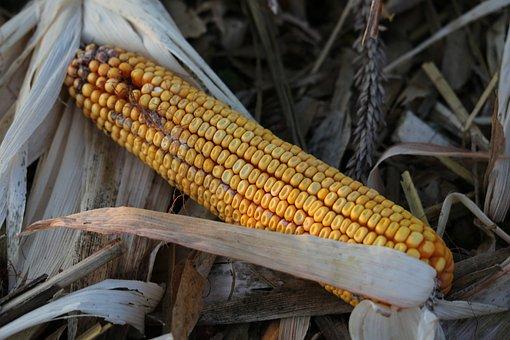 Corn, Cornfield, Harvest, Agriculture, Autumn, Nature