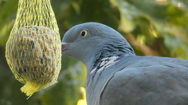 Dove, Aviary, Garden, Animal, Bird, Birds, Wing