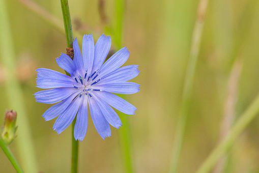 Purple, Cornflower, Centaurea Cyanus, Bachelor's Butto