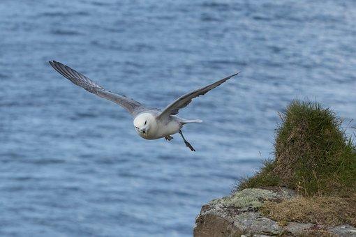 Mallemuk, Fulmarus Glacialis, Bird, Wings, Flying