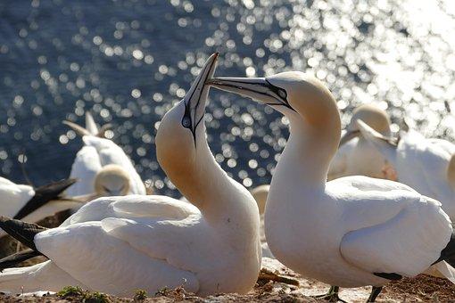 Birds, Wildfowl, Northern Gannet, Sea, Sun, Bill