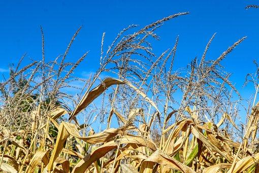 Field, Blue, Sky, Nature, Corn, Cornfield, Harvest