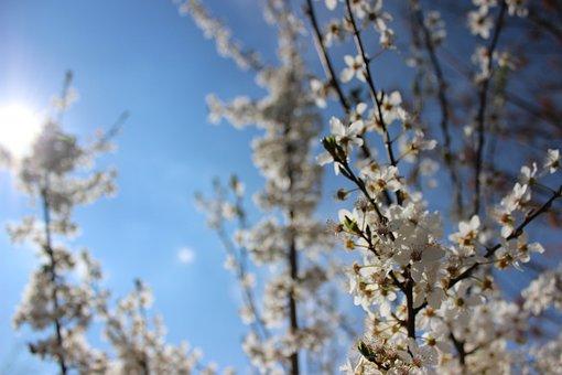 Blüten, Frühling, Frühjahr, Sonne, Pflaumenbaum