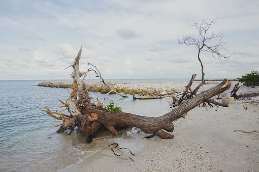 Trunk, Root, Beach, Shore, Sand, Wood, Tree, Branches
