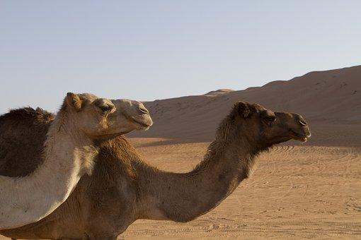 Camel, Camels, Sand, Landscape, Expensive, Dune, Sky