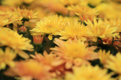 Chrysanthemum, Chrysanthemums, Flowers, Plants, Yellow