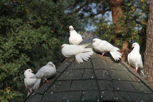 Dovecote, Pigeons, White, Birds, Columbiformes