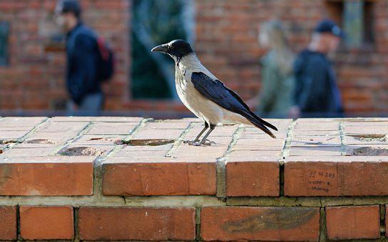 Crow, Bird, Plumage, Beak, Wall, Bricks, Red, People