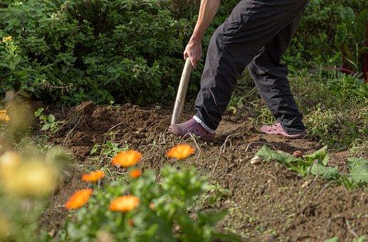 Gardening, Field, Potatoes, Harvest, Dig, Spade, Earth