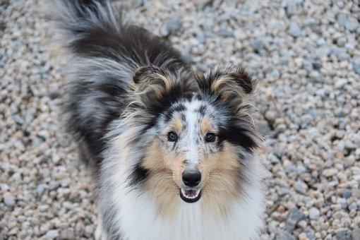 Dog, Bitch Shetland Sheepdog, Dog Breed, Princess Bitch