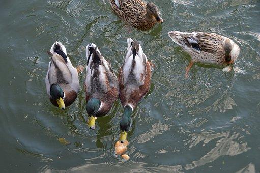 Duck, Plumage, Lake, Pen, Wild, Bird, Pond, Mallard