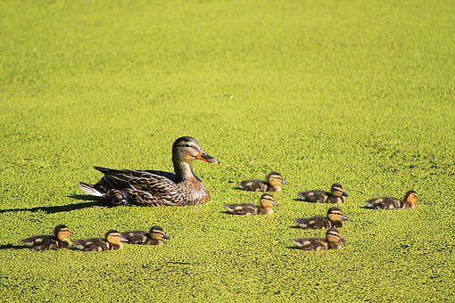 Duck, Ducklings, Mom, Care, Heat, Family, Love