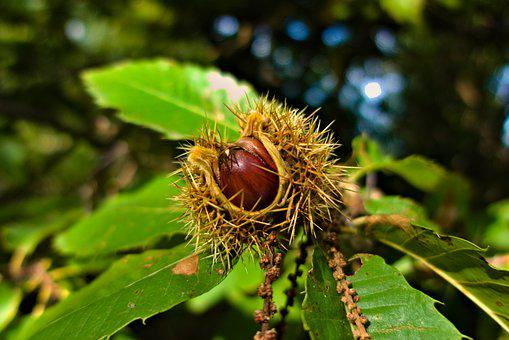 Chestnut, Fall, Nature, Thorny, Open
