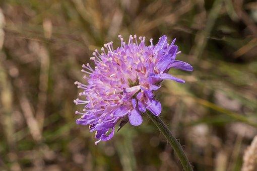 Blåhat, Flower, Petals, Natural, Flora, Macro, Blue