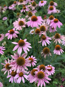 Flower, Natural, Daisy, Pink