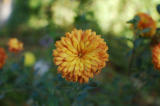 Flower, In The Fall Of, Petals, Orange