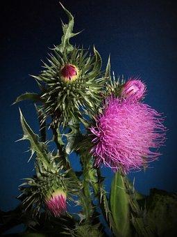 Thistle, Thorns, Pink Flower, Thorny, Flower, Plant