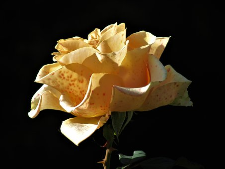 Rose, Yellow, Flower, Petals, Blossom, Nature, Romantic