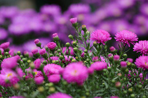 Aster, Flowers, Autumn, Flora, Pink, Lilac, Plant