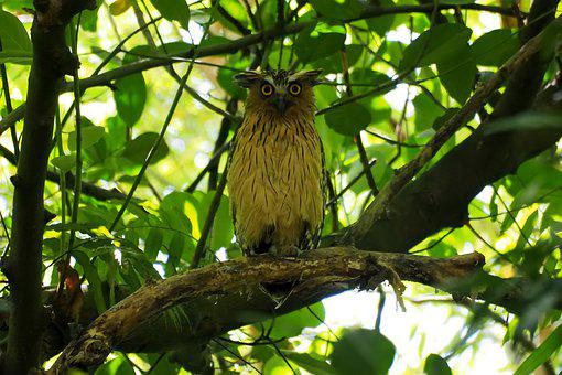 Buffy Owl Perched, Wild, Bird, Wildlife, Forest, Tree