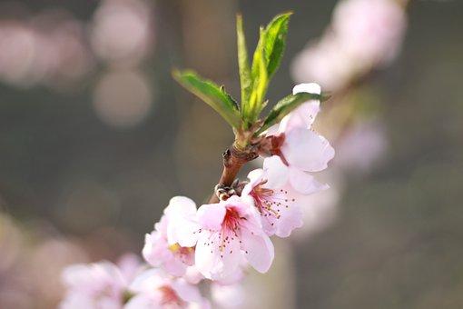 Color, Blooming, Peach, Garden, Spring, Bloom, Blooms