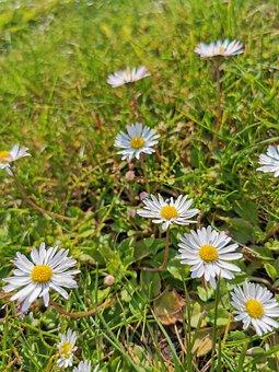 Daisy, Nature, Grass, Bloom, Spring, Flowers, Summer