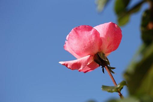 Pink Rose Papillon, Flower, Petals, Leaves, Blue Sky