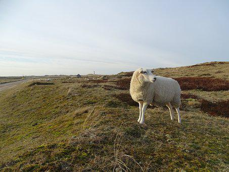 Sylt, Elbow, Sheep, Lighthouse, Landscape, Nature