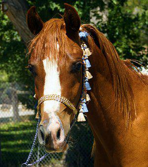 Horse, Arabian, Mare, Filly, Mustang, Wild Horse