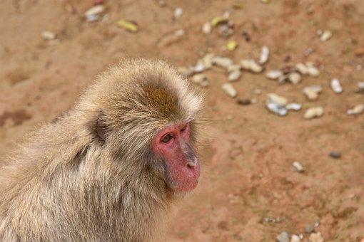 Animal, Monkey, Primates, Makake, Animal World, Mammal